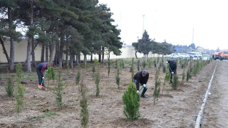 Masallının meşə fondu ərazisində ağac əkiləcək